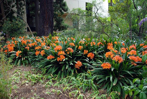Botanical name: Clivia Miniata Common name: Bush Lily Origin: Southern Africa Height: 50cm Spread: 40cm Form: An evergreen clump forming...