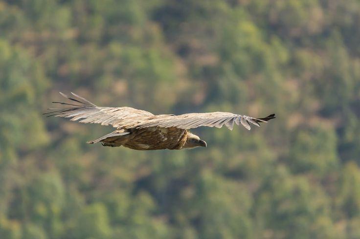 Griffon Vulture by Fernando Sanchez de Castro on 500px