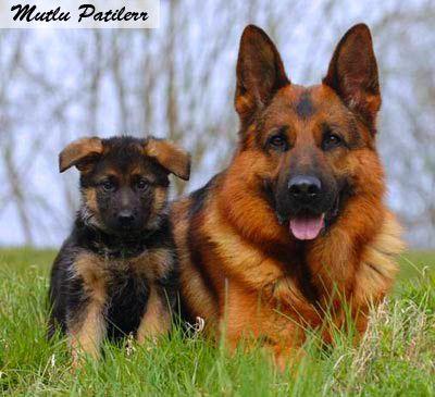 Mutlu Patilerr: Çoban Köpekleri ve Cinsleri...