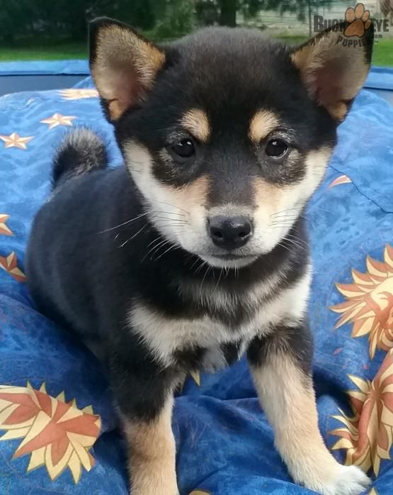 Lexi - Shiba Inu Puppy for Sale in Glenmont, OH | Buckeye