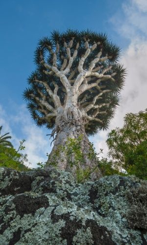 O dragoeiro (Draceana draco) recebe esse nome pela resina avermelhada que derrama quando suas folhas são cortadas. Raízes aéreas crescem pelos ramos mais baixos e pelo tronco, aumentando sua circunferência. Essa árvore foi registrada na ilha de Tenerife, nas Ilhas Canárias, Espanha.  Fotografia: Frans Lanting / National Geographic Creative.