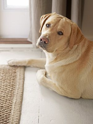 Huck, a yellow lab, clearly approves of this plywood floor painted in Behr's Shaded Hammock.