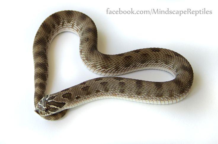 Anaconda morph Western Hognose snake.