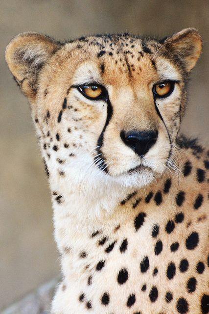 Cheetah by LisaDiazPhotos on Flickr.