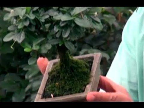 Bonsai Bitkisi - Bonsai Bakımı, Sulaması, Budaması, Yer Seçimi 1. Bölüm - YouTube