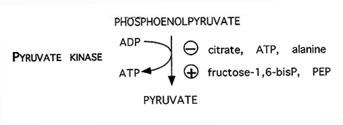 Now, this is pyruvate kinase.  It stops when there's enough citrate or ATP, but if I have a ton of fructose-1,6 bisphosphate or phosphoenolpyruvate, I have to force the reaction to completion.  If I really have enough, the when the Acetyl CoA (from broken down pyruvate) goes into TCA and when it gets to citrate, it'll just be made into fat.
