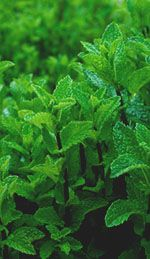 Peppermint Oil for Headaches and Migraines