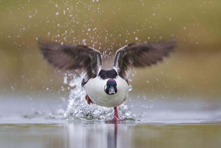 Bufflehead Running on Water | Foto: Daniel Cadieux