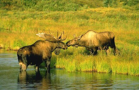 North American safari - see a moose with water dripping from his antlers