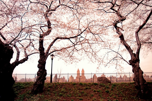 Spring cherry blossoms overlooking the Jacqueline Kennedy Onassis Reservoir. Central Park, New York City. ---- By Vivienne Gucwa