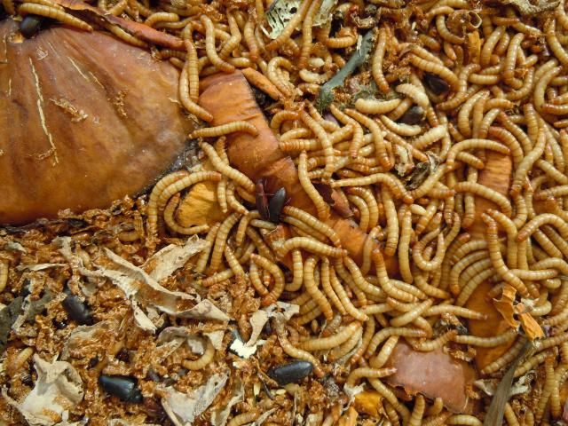 Raising mealworms for the chickens