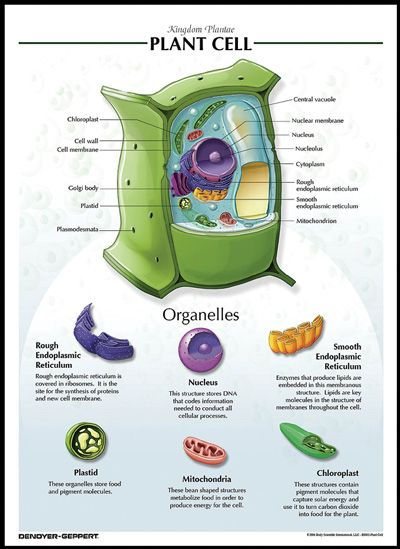 Plant Cell Chart - Click Image to Close