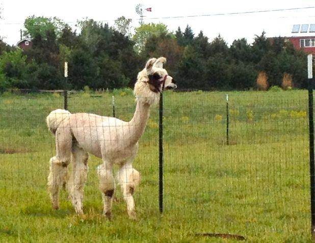 Caption This!  Leave a comment as to what you think this llama is saying.