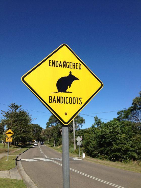 Endangered Bandicoot in Australia