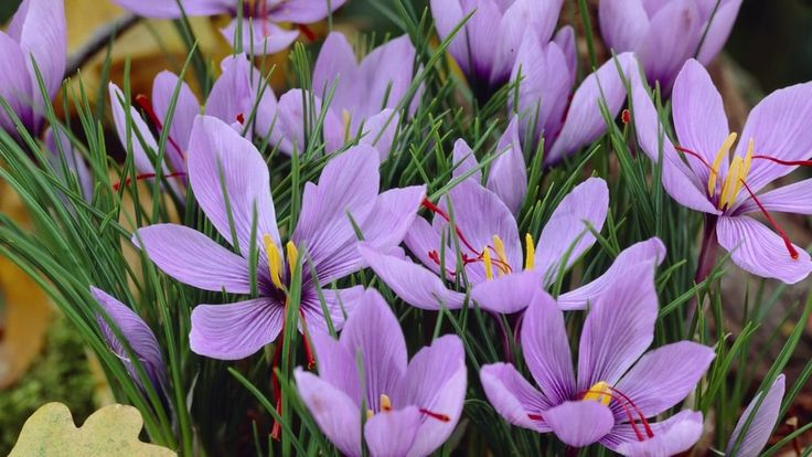 Saffron is worth its weight in gold, grow your own! These beautiful purple crocus flower in fall and offer you pure saffron on each flower's stigmas.  They're easy to grow and do well in containers. (Crocus sativus)