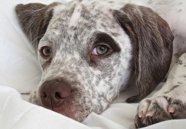 Ares, Braque puppy.