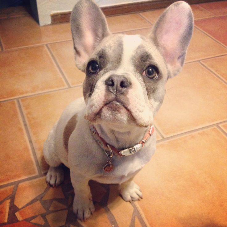Blue pied fawn french bulldog