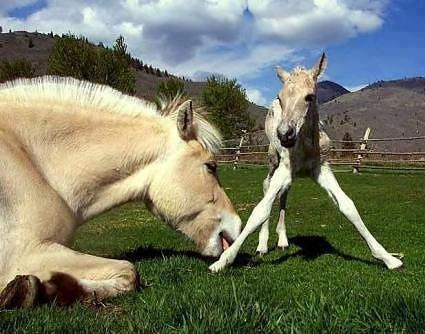 Fjord Filly