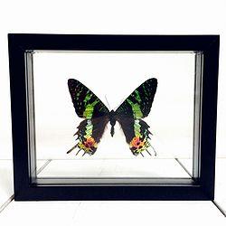Vlinder in lijst Chrysiridia Rhipheus. Deze verfijnde lijst bevat een van de kleurrijkste vlinders ter wereld namelijk de Urania Ripheus oftewel de Chrysiridia Rhipheus. Deze uit Madagaskar afkomstige vlinder heeft een bijna fluorachtige kleurrenpracht die lijkt te veranderen in het licht.