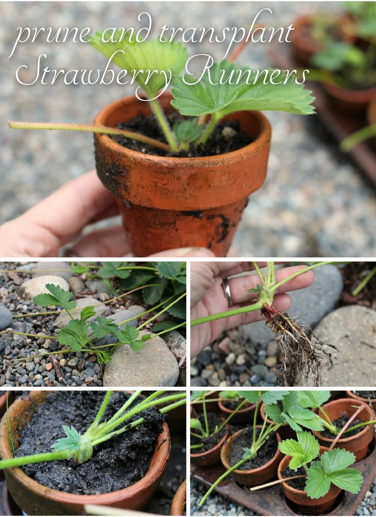 When to prime and transplant strawberry runners! Gardening tips you need to know!