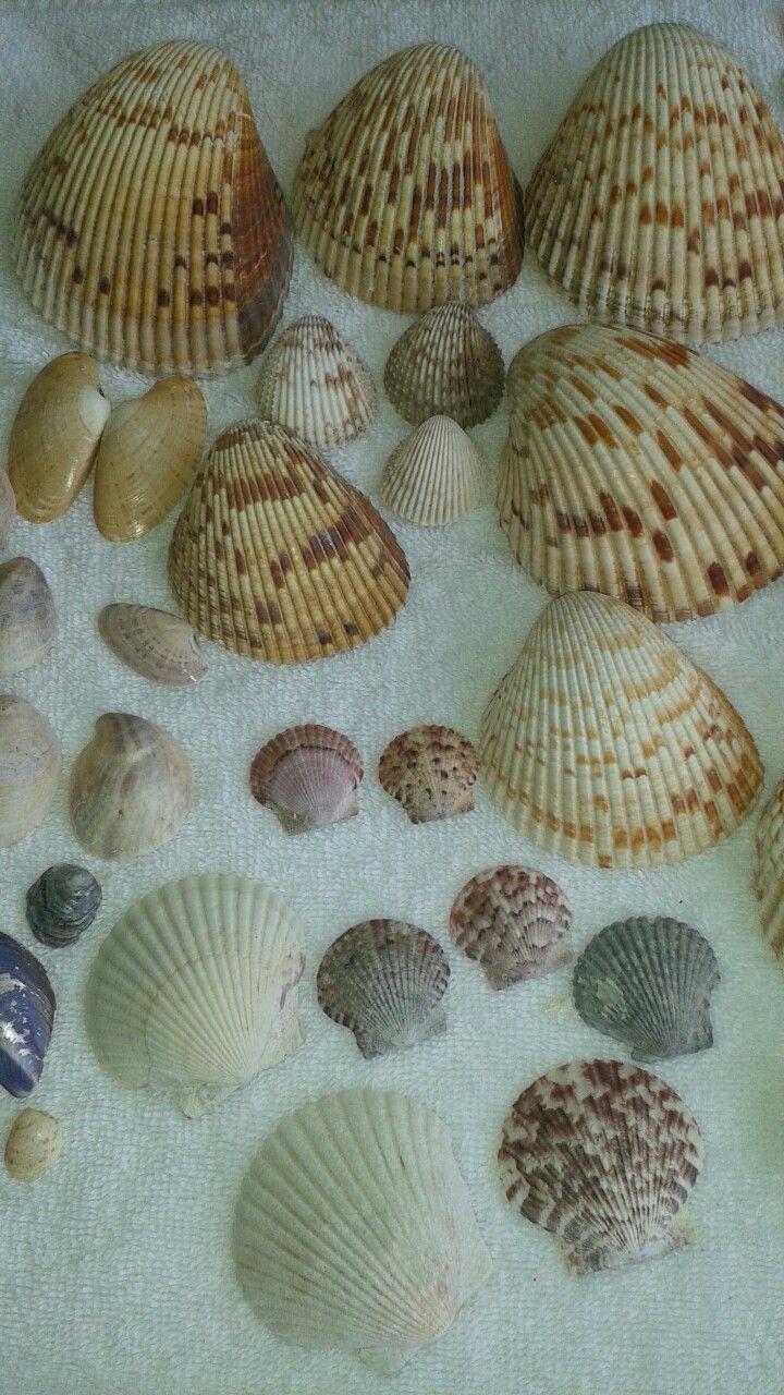 26 best Marco island seashells and seashellstorage images on ...