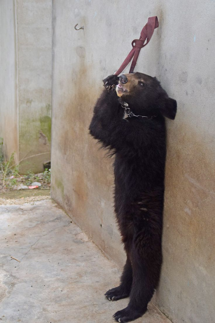Throughout China, circuses, traveling shows, and roadside zoos force animals—including bears, monkeys, tigers, lions, dogs, and others—to perform for the …