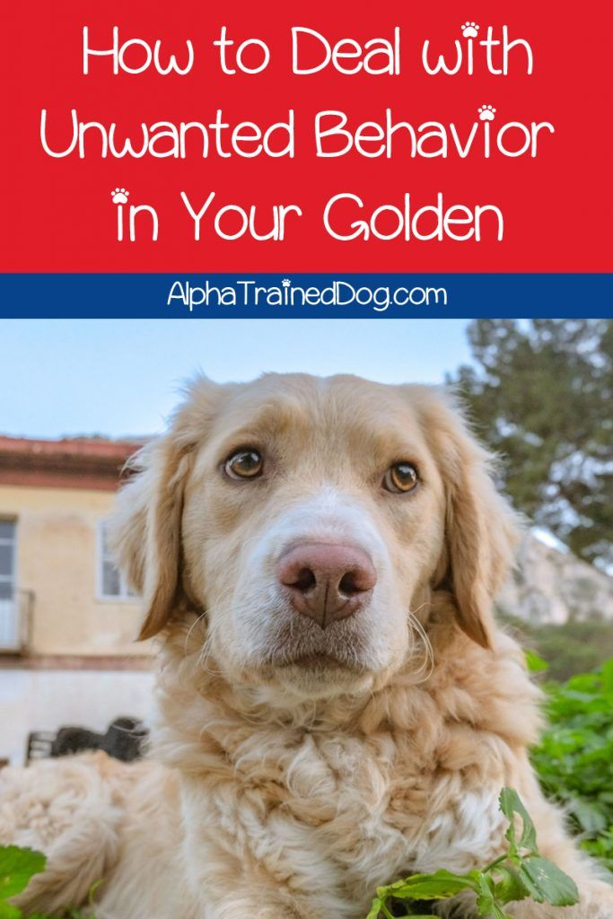 Need A Few Good Tips For Training Your Golden Retriever Let Us