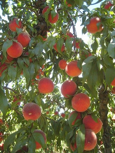california state fruit pruning fruit trees