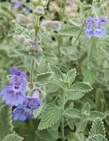 """Dropmore"" Catmint (Nepeta x faasenii) A great performing catmint spreading to 75x75cm flowering twice in a Season. Full sun, frost hardy, lovely cutting flower of blue blossoms and silver foliage."