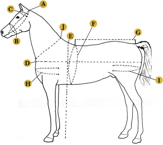 How to measure a horse for a harness.