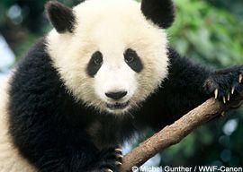 Support World Wildlife Global Conservation Efforts.  giant panda