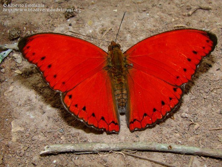 Cymothoe sangaris - 338793 - Biodiversidad Virtual / Invertebrados