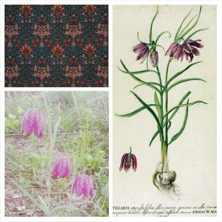 Snakeshead Fritillary collage. Drawing and print courtesy of the V&A online catalogue. Photo, mine.
