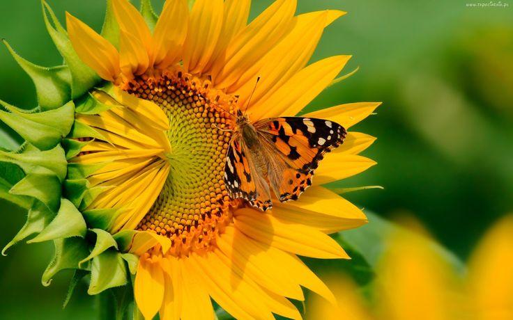 Motyl, Słonecznik