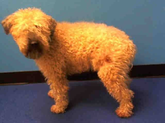 SUPER URGENT 12/5/13  Manhattan Center   SPARKY - A0986690   NEUTERED MALE, TAN / BLACK, SC WHEAT TERR, 10 yrs  OWNER SUR - EVALUATE, NO HOLD  Reason MOVE2PRIVA  Intake condition NONE Intake Date 12/05/2013, From NY 11358, DueOut Date 12/05/2013 https://www.facebook.com/Urgentdeathrowdogs/photos_stream#!/photo.php?fbid=720237747989107&set=pb.152876678058553.-2207520000.1386292009.&type=3&theater
