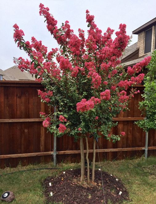 Tuscarora E Myrtle With Pink Flowers Treeland Nursery Gunter Texas