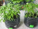Прочитала в Одноклассниках, хочу в этом году попробовать этот способ выращивания рассады томатов, перцев, баклажан, сельдерея и др...