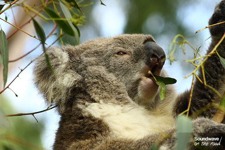 Un koala déguste son repas préféré : l'eucalyptus - Phillip Island http://soundwaveontheroad.com/cap-sur-phillip-island-son-spot-de-surf-et-ses-koalas/