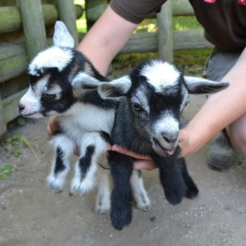 baby pygmy goats!Funny Pictures, The Farms, Pigmy Goats, Dwarfs Goats, Heap Hands, Baby Pygmy Goats, Small Farms, Baby Goats, Nigerian Dwarfs