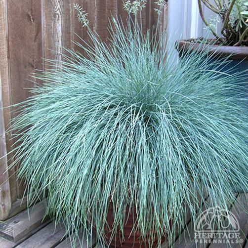 Festuca glauca 'Beyond Blue.' Aly: link includes basic care info. Looks nice with bulbs.