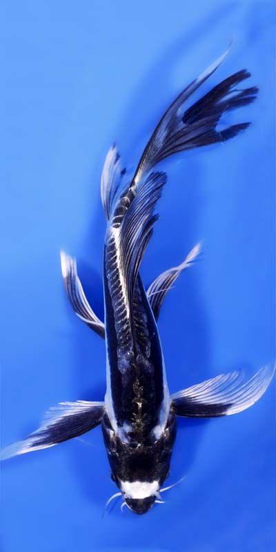 Kikokuryu Butterfly Koi   Fishies   Pinterest