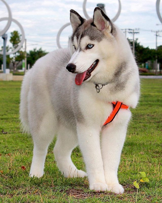 Siberian Husky One Friendly And Playful Dog Hunde Fotos Tiere