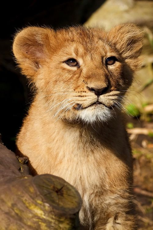 Baby Lion. I love lions, they are beautiful
