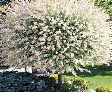 Bay Window Garden Ideas windows bay windows home depot ideas garden home depot decor Dwarf White Willow Tree On Side Of Bay Window
