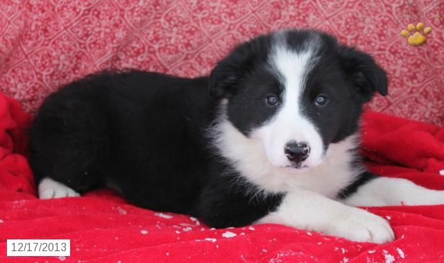 Star - Border Collie Puppy for Sale in Honey Brook, PA - Border Collie - Puppy…