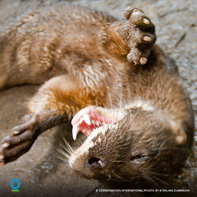 The rarest otter in the world the hairy-nosed otter was thought to have been extinct until just recently. They are an important apex predator in the Tonle Sap lake in Cambodia which means they help maintain healthy fish populations for the millions of Cambodians who depend on the fish for protein. @ConservationOrg is working to protect this important species through education and monitoring on the lake. #WorldOtterDay #otter #wildlife #cambodia #tonlesap #conservation #endangered by…