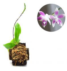Phalaenopsis Tetraspis Rp 170,000