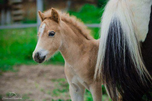 Конеферма Любильцево. Продажа лошадей и пони. Фризские лошади. Фелл-пони, мини-фризы