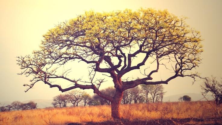 Marula Tree in Africa