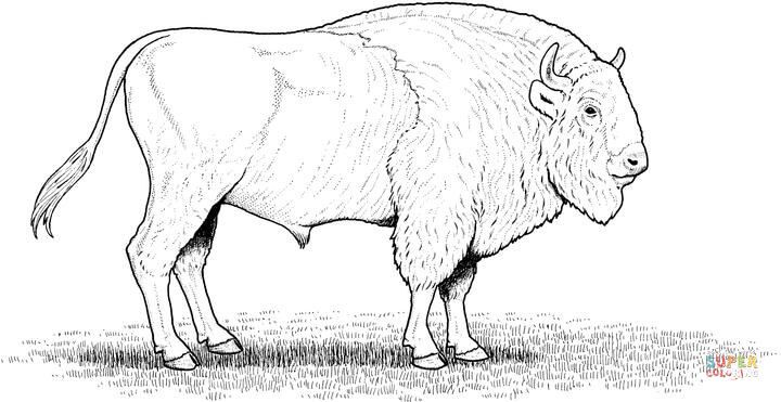 Http Www Supercoloring Com Sites Default Files Styles Coloring Full Public Cif 2009 01 Buffalo 17 Coloring Page Jpg American Bison Moose Art Animals